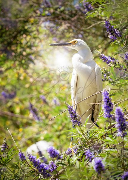 Snowy Egret Bird In Lilac Tree