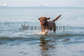 chocolate lab with gray muzzle creating splash running through waves