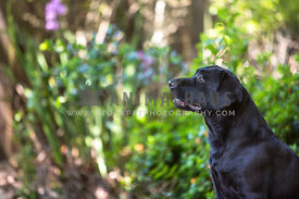 black labrador retriever adult sitting profile outside