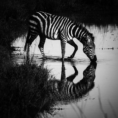 00492-Zebra_drinkin_in_the_river_Kenya_2018_Laurent_Baheux