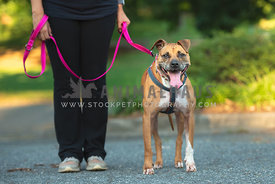 close up of standing, large pitbull mix on leash wearing harness