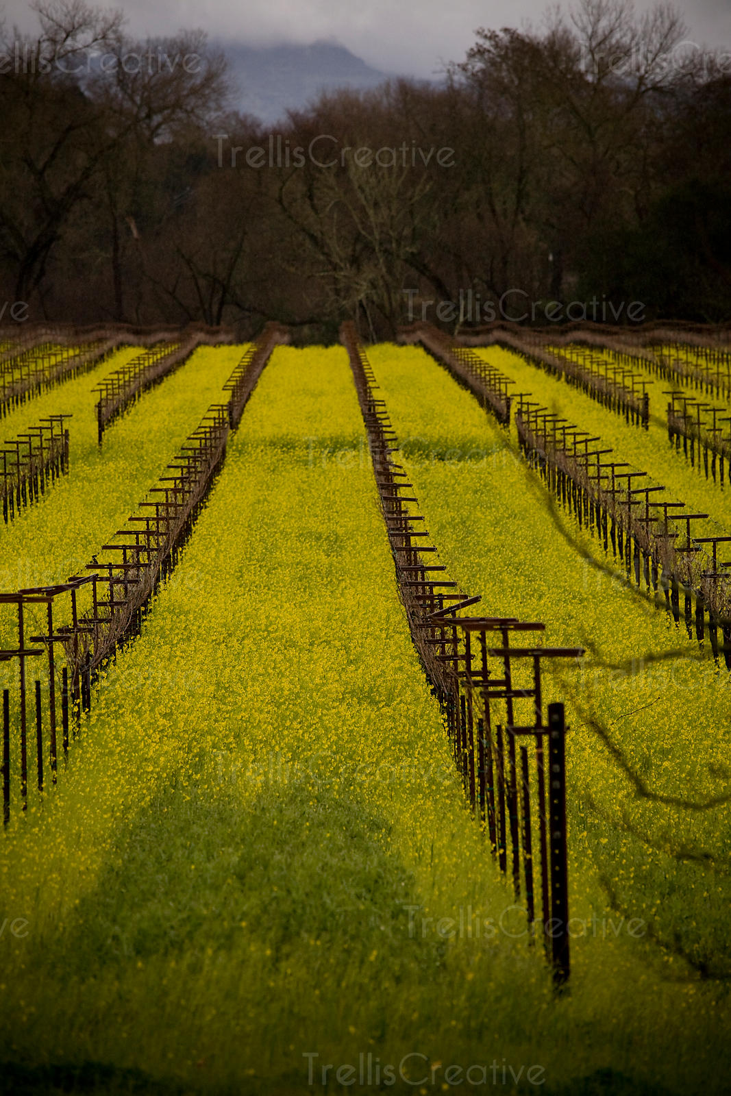 Looking down the row of wild mustard growing in a vineyard