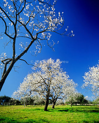 Almond trees in winter. Algarve, Portugal