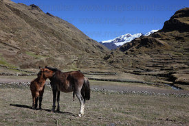 Horse and foal in valley below snowy peaks, Cordillera Apolobamba , Bolivia