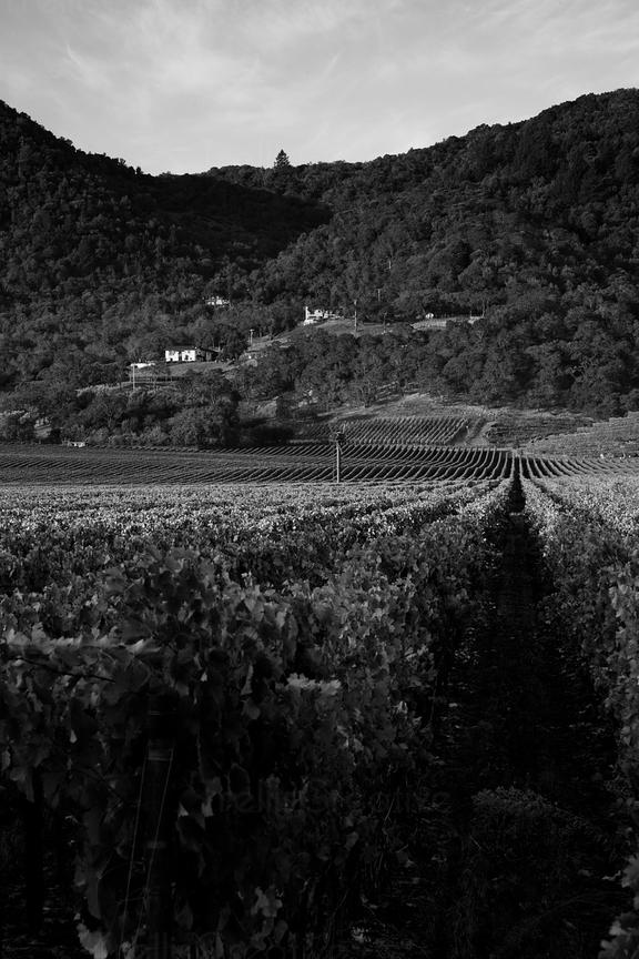 Moody black and white Napa Valley vineyard landscape