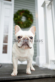 french bulldog or frenchie standing on porch in front of wreath