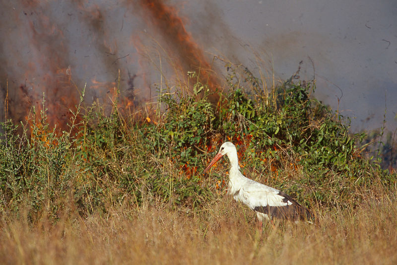 White Stork (Ciconia ciconia), Catching the Animals Trying to Escape the Bush Fire