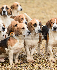 The Westerby Basset Hounds at Hill Top Farm 24/1