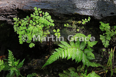 Fern community including Maidenhair Fern (Adiantum capillus-veneris) (upper left) in Victoria Falls Rainforest, Victoria Fall...