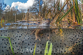 Common Frog, Rana temporaria among frog spawn Cromer Norfolk March