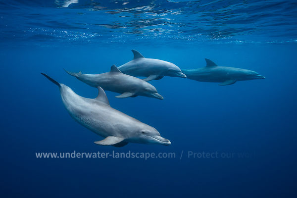 Bottlenose dolphins - Savage dolphin of Mayotte lagoon