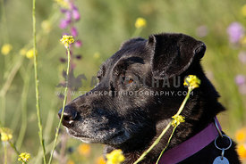 Black-Lab-Mutt-Profile-Looking-through-Wildflowers-Spring-Scene