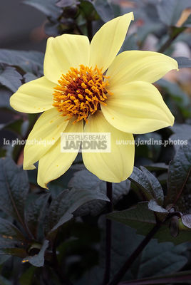 Dahlia hybride 'Magic Girl'
