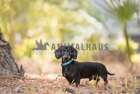black and tan dachshud standing in tropical setting eye contact