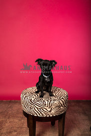 black terrier mix puppy sitting on stool red background in studio