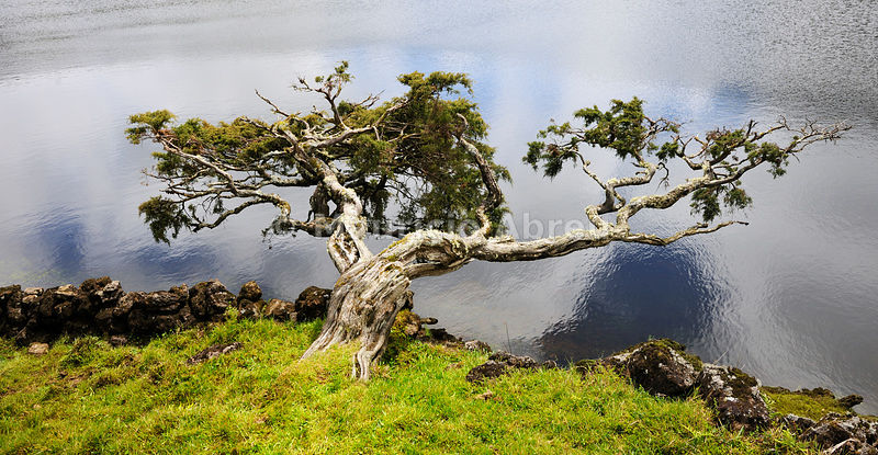 Volcanic lake (Lagoa do Paul) with an endemic tree, the cedro-do-mato. Pico, Azores islands, Portugal
