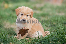 Young golden holding a leaf