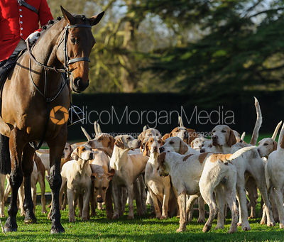 The Fitzwilliam hounds and the Huntsman's horse
