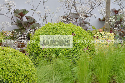 Arbuste persistant : Buxus sempervirens (Buis), Stipa tenuissima 'Pony Tails', au fond : Anthriscus sylvestris 'Ravenswing' (...