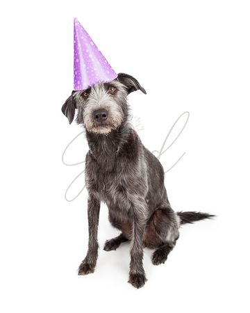 Dog Wearing Purple Party Hat