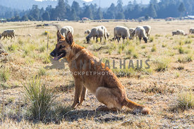 orange mixed breed shepherd watching over a group of sheep