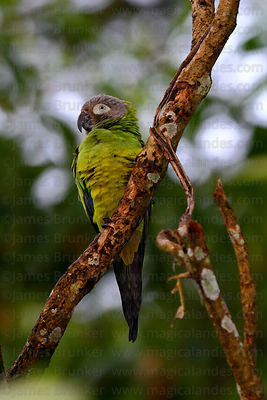 Dusky-headed Parakeet ( Aratinga weddellii )