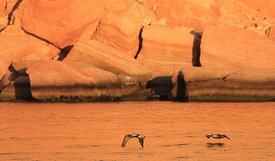 Brown Pelicans at Sunrise