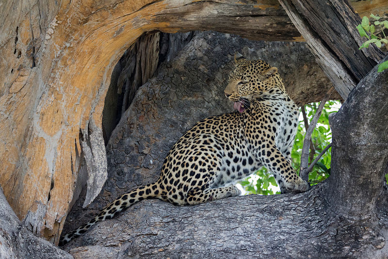 Female Leopard Grooming in a Tree