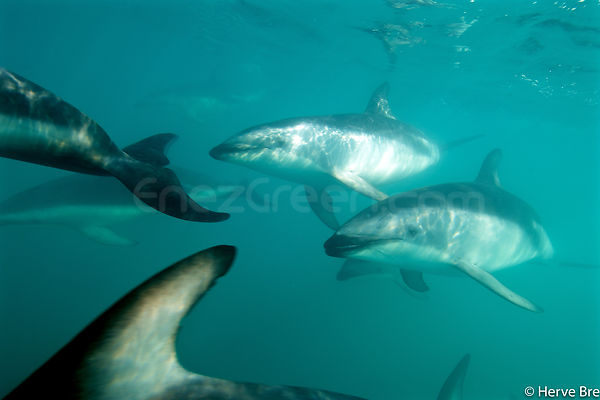 Diving with Dusky dolphins in New-Zealand