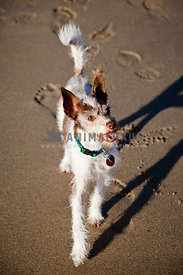 mix breed terrier looking up and having fun on beach