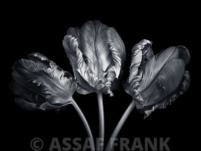 Three rococo tulips close-up