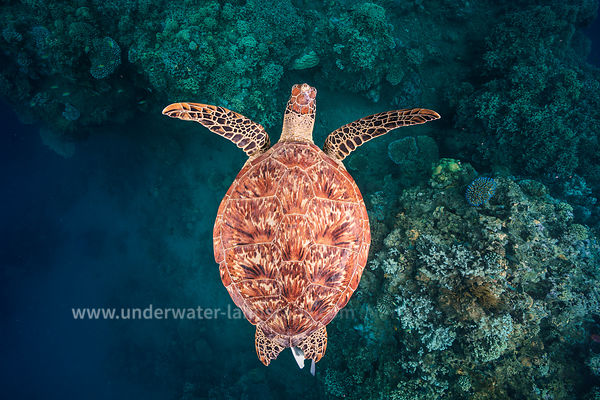 Green Turtle - Flying over the reef