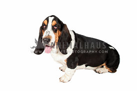 basset hound sitting on white backdrop looking to camera