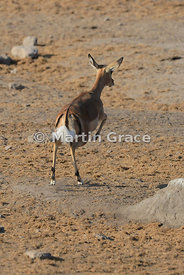 Female Black-Faced Impala (Aepyceros melampus petersi) leaping away from the camera, Etosha National Park, Namibia