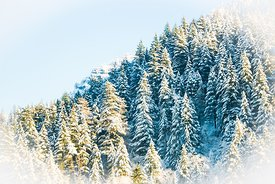 Snowy trees in the gorge
