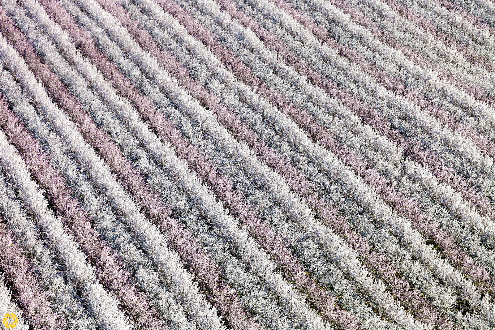 Almond Trees in Bloom from the Air #2