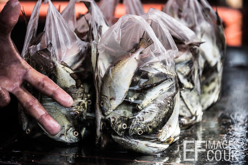 White Spotted Rabbitfish packaged for sale at an unofficial fish market in Semporna, Malaysia, 2018