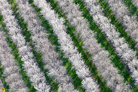 Almond Trees in Bloom from the Air #1