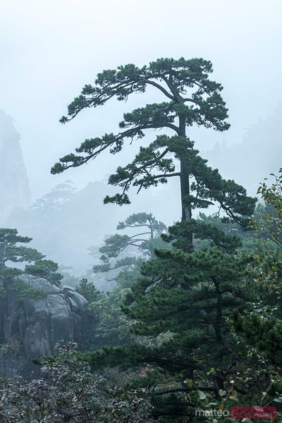 Single tree in a foggy landscape, yellow mountains, China