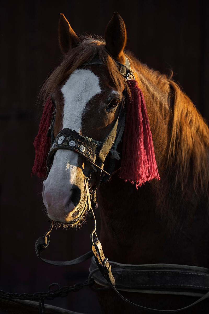 Portrait of a Draft Horse