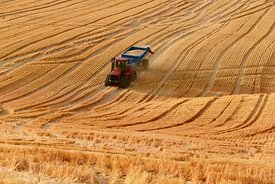 wheat, harvest