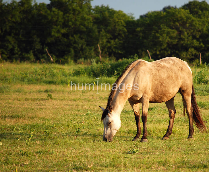 Dun horse grazing in a field