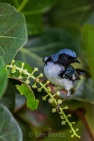 Black-throated Blue Warbler at Dry Tortugas National Park