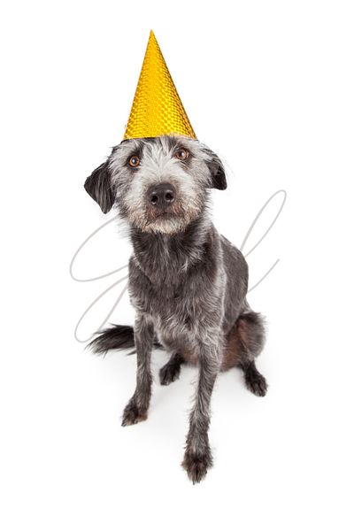 Terrier Dog Wearing Yellow Party Hat