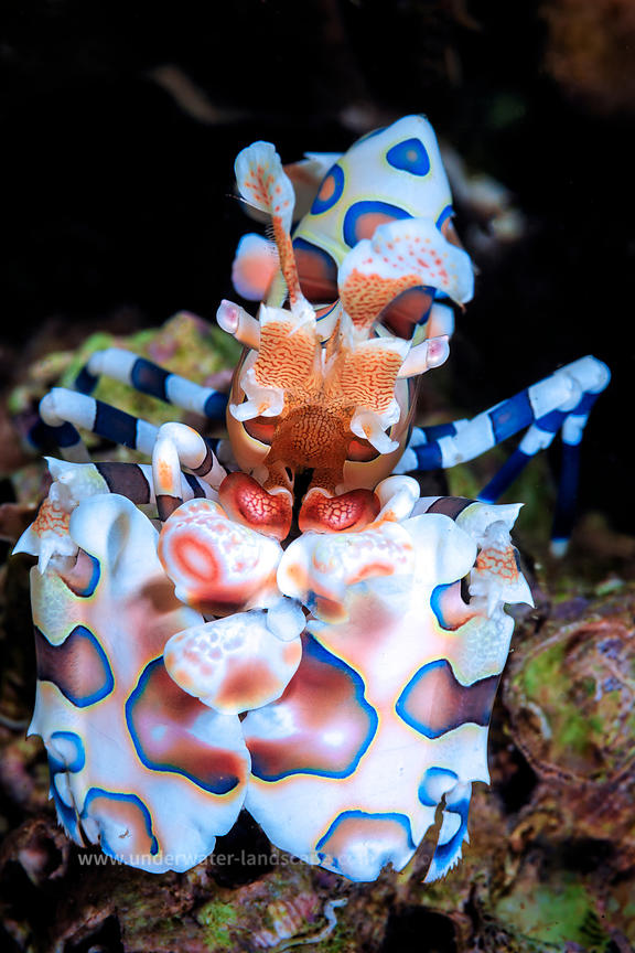 Harlequin shrimp - underwater Mozambique