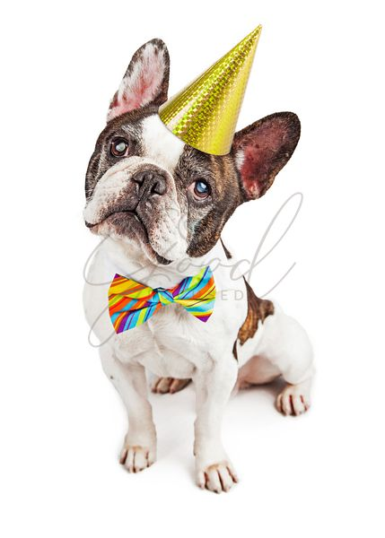 Birthday Party French Bulldog