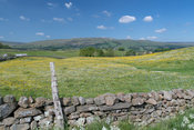 Wild flower meadows in Upper Wensleydale around Hawes, with Staggs Fell in the distance. North Yorkshire, UK.