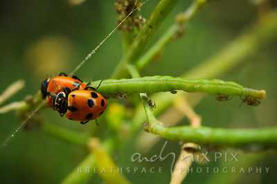 Close-up of a pair of lady birds mating on a plant, aphids walking on plant