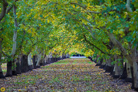 Walnut Orchards in Fall #3