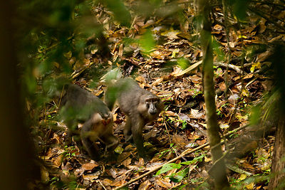 Two Tonkean Macaques (Macaca tonkeana) looking up from forest floor. Sulawesi, Indonesia.